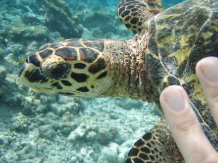 Meine geliebte Freundin die Schildkröte - Schnorcheln Süd-Malé-Atoll