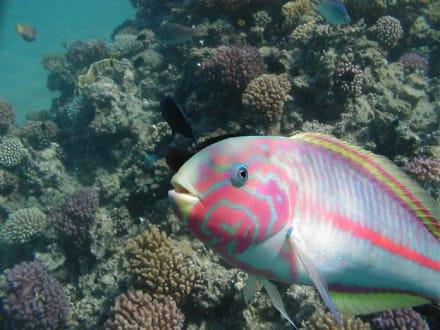 Papageienfisch - Tauchen Makadi Bay