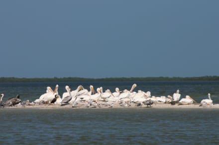 Pelikane - Isla Holbox