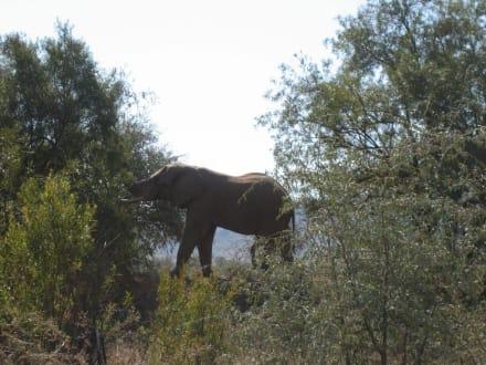 Einer der Big Five - Pilanesberg Nationalpark
