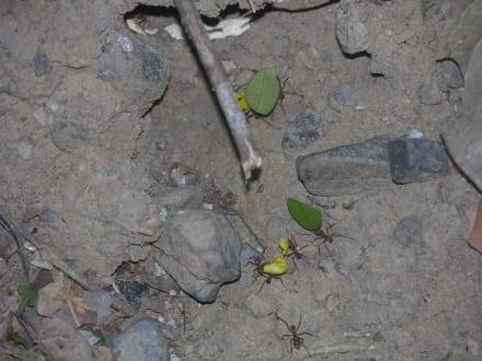 Ameisen, die keinen Urlaub hatten, Nationalpark Carara - Nationalpark Carara