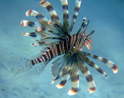 Rotfeuerfisch - Tauchen Marsa Alam