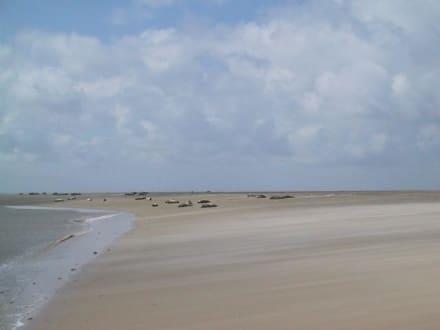 Robben auf Sandbank - Strand Borkum