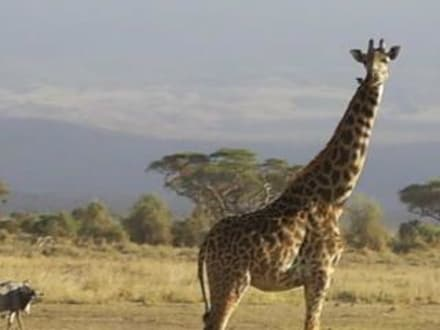 Giraffe - Amboseli Nationalpark