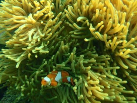 Clownsfisch - Koh Wai