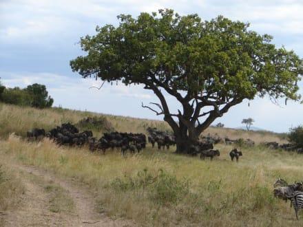 Wurstbaum - Masai Mara Safari