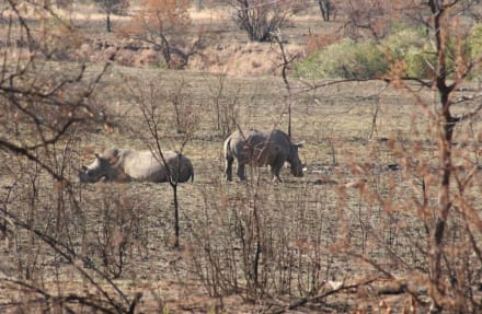 Einer der Big Five - Pilanesberg Nationalpark