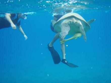 Schildkröte umringt von Schnorchlern - Schnorcheln Marsa Alam