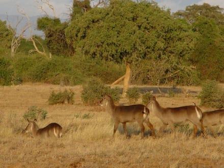 Safari - Tsavo Ost Nationalpark
