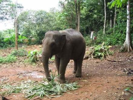 Elefant - Elefantentrecking