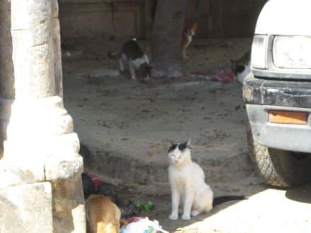 Katzen von Medina - Altstadt Tunis