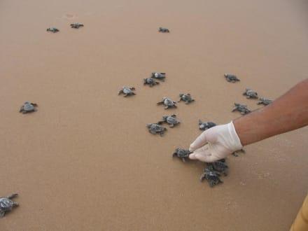 Meeresschildkröten! - Meeresschildkröten Salvador da Bahia