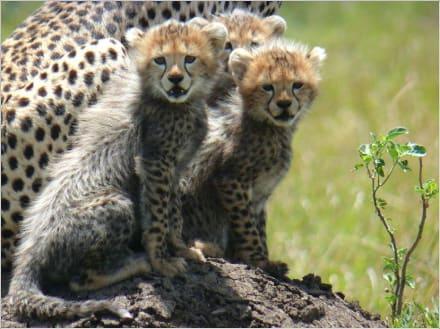 Gepardenkinder - Masai Mara Safari