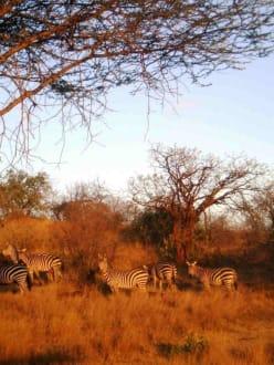 Zebras im Abendlicht - Tsavo West Nationalpark