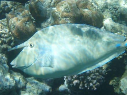 Fisch am Hausriff - Schnorcheln Coraya Bay Marsa Alam