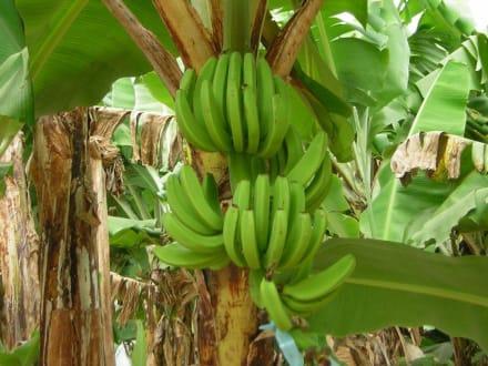 Bananenstaude - Extra Tours