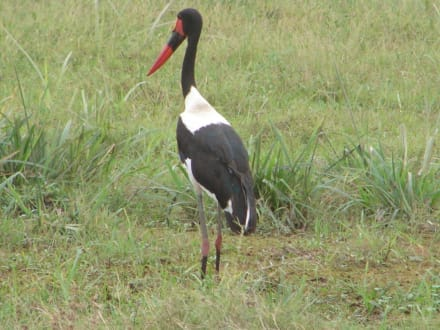 Vogel im Amboseli - Amboseli Nationalpark