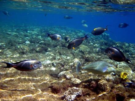 Three Corners Palmyra - herrliche Fischwelt schon vor der Ri - Schnorcheln Nabq Bay