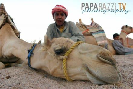 Kamel mit Beduinenjungen - Windsurfschule Vasco Renna
