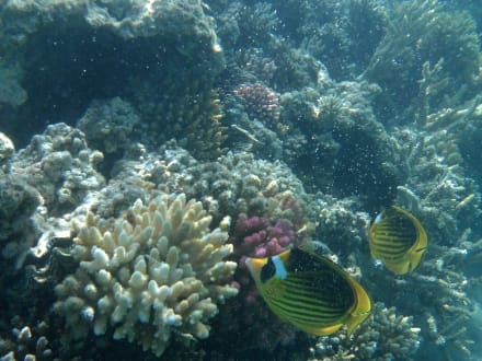 Tabakfalterfisch - Schnorcheln Makadi Bay
