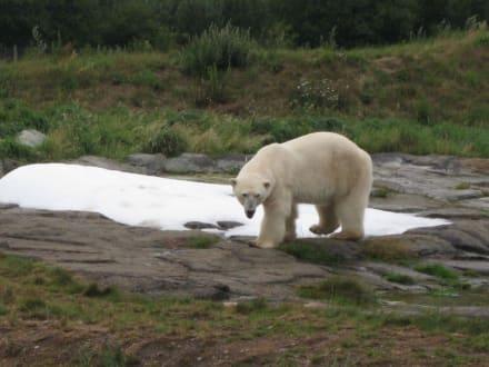 Eisbär im Schnee - Dyrepark