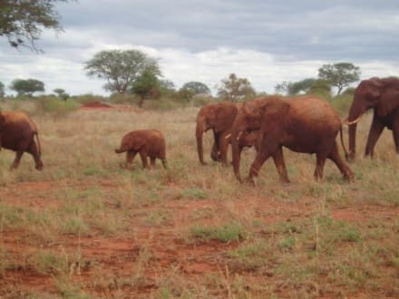Elefanten in Tsavo Ost - Tsavo Ost Nationalpark