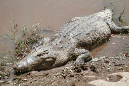 Krokodil - Masai Mara Safari