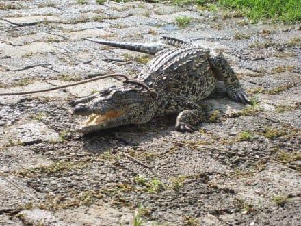 Kleines Krokodil - Krokodilfarm