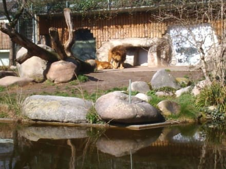 Gut gebrüllt Löwe! - Zoo Karlsruhe