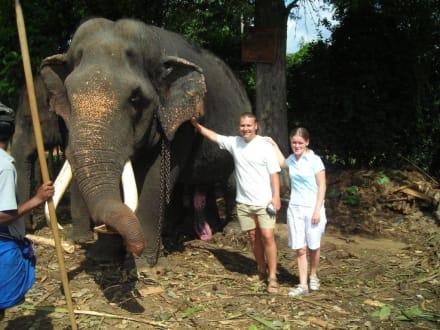 Neben einem Elefantenbullen - Elefantenwaisenhaus Pinnawela