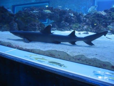 Hai im Unterwasseraquarium - Sylt Aquarium