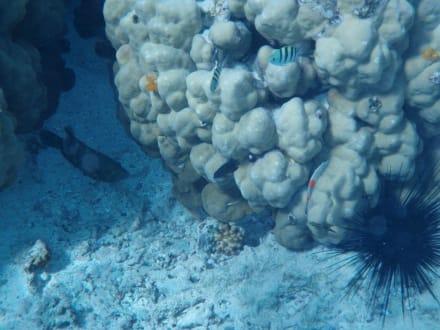 Koralle mit Kinderstube - Schnorcheln El Quseir