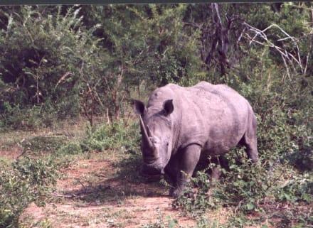 Nashorn im Krüger-Park - Krüger Nationalpark