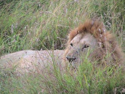 Löwe in der Mara - Masai Mara Safari