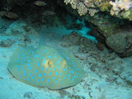 Blaupunktrochen - Adventurer-Diving (geschlossen)