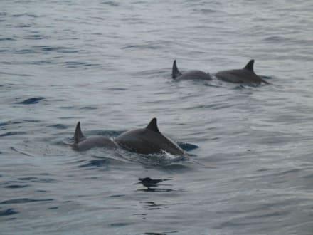 Flipper - Delfin Tour Lovina