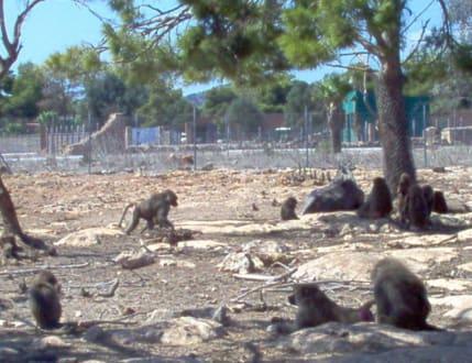 Affen auf freier Wildbahn - Safari Zoo