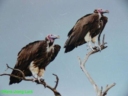 Geier! - Lake Nakuru Nationalpark