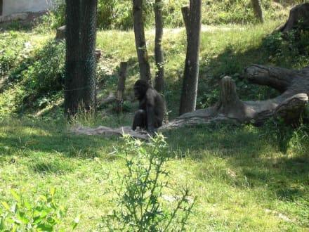 Gorillas - Zoo Schmiding